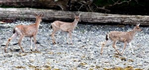 Sitka black-tailed deer in DeGroff Bay. Successful or not, attempting to shoot deer from a boat is a misdemeanor in Game Management Unit 4. (ADF&G photo)