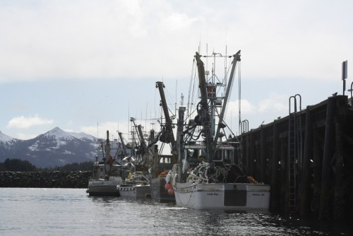 Herring harvest limit to be lower than forecast