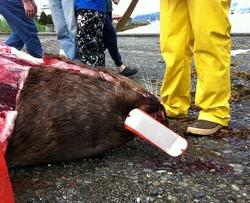 Dead sea lion studied near downtown Sitka