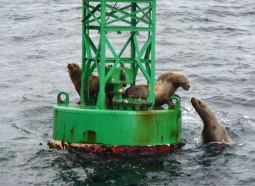 Sea lions touch noses as one clambers onto a buoy near feeding whales in Sitka Sound. Sea lions follow humpbacks, eating herring stunned or killed during feeding. Photo by Ed Schoenfeld.