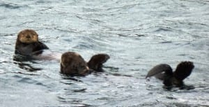 Two sea otters take a break from feeding in a bay near Sitka Sound. Photo by Ed Schoenfeld.
