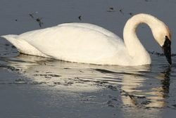 Feeding swans? Keep wild diet in mind (video)