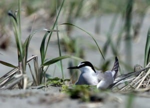 An Aleutian tern nests near a Yakutat beach. The rare seabirds will be celebrated at this year's Yakutat Tern festival. Image from www.yakutatternfestival.org.