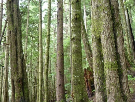 Second- or young-growth trees cover a Tongass National Forest hillside in southern Southeast Alaska. A proposal from the Southeast Conference could use newer forested areas to replace old-growth habitat. (CoastAlaska News photo.)