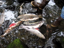 As stream levels drop, salmon die before spawning