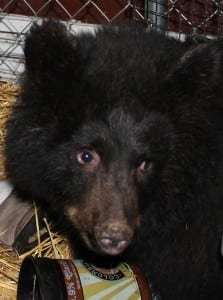 Smokey is the Fortress's newest and youngest resident, and currently the habitat's only black bear. (Rachel Waldholz, KCAW)
