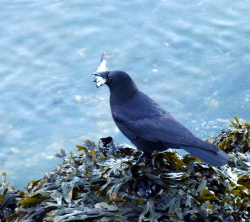 A crow enjoys a fat coho smolt. Garrison says that the smolt were being reared for a second year, in the hope of improving subsequent runs. (KCAW photo/Rich McClear)