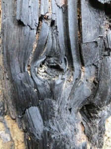 Structural details can still be seen in the charcoal tree found near Sitka. (Courtesy Kitty LaBounty)