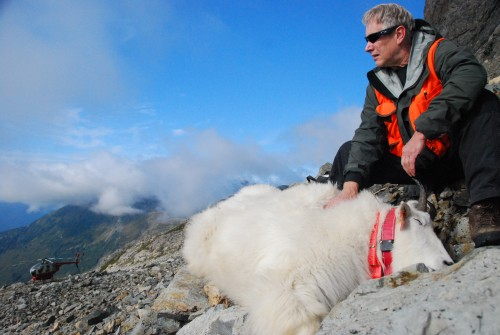 Phil Mooney track mountain goat migration pattern using orange GPS collars. (photo courtesy of Phil Mooney)