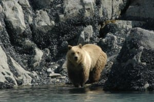 Where glacial ice has most recently retreated, Glacier Bay's bears rely on the intertidal area for food. (Tania Lewis photo)