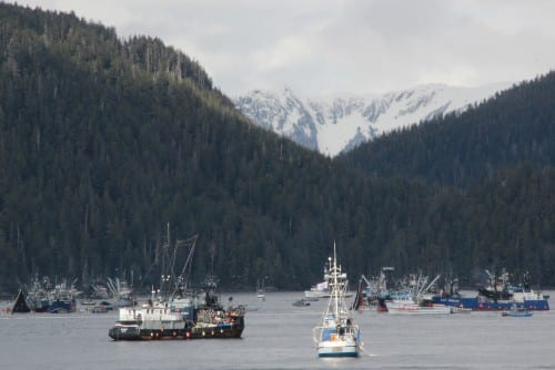 Seiners in Starrigavan Bay during the first opening of Sitka's 2014 sac roe herring fishery. (KCAW photo/Rachel Waldholz)