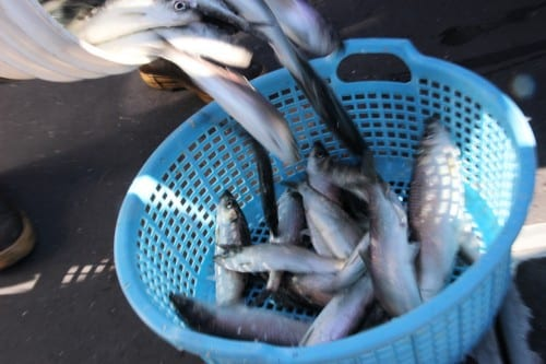 Herring caught during the 2014 Sitka Sound sac roe fishery. A recent study suggests that  managers should take a longer view when managing fisheries like this one. (KCAW photo/Rachel Waldholz)