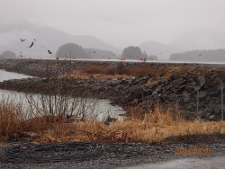 Eagles on Sitka's runway. (photo courtesy of Dave Tresham)
