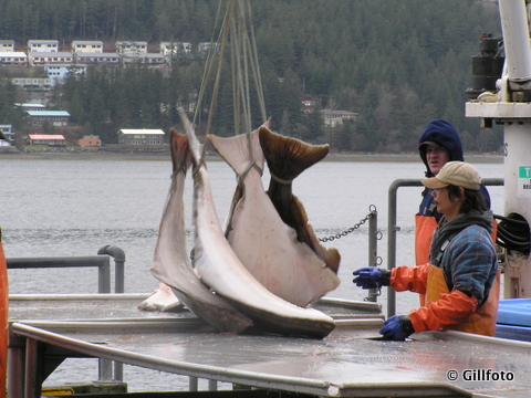 Fishermen offload commercially-caught halibut in Juneau. The cost of an observer day has nearly doubled -- to over $800 -- from the inception of the program in 2010. (Flickr photo/Gillphoto)
