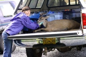 ADF&G tech Holley Dennison loads the doe into a truck at the Hames Center, for a trip back to the woods to recover. (ADF&G photo/Phil Mooney)