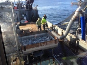 The Deco Bay loads up on herring during the second opening of the 2015 Sitka Sound sac roe herring fishery, on Thursday, March 19. (Photo courtesy of Angela Marie Christensen)