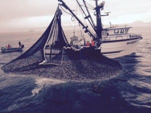 The Sequel makes a set during the fifth opening of the 2015 sac roe herring fishery, on March 22. (Photo courtesy of Big Dog Fish Company)