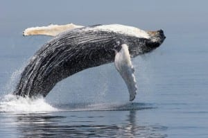 NOAA Fisheries has proposed splitting humpbacks into fourteen populations and removing ten of those populations from the endangered species list. (Amy Kennedy/NOAA)