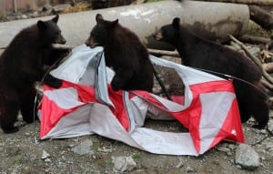 Black bear cubs Smokey, Bandit, and Tuliaan were orphaned in Juneau and Seward in 2013. They make short work of a tent baited with grapes and graham crackers, during a demonstration for elementary students this spring. (KCAW photo/Robert Woolsey)