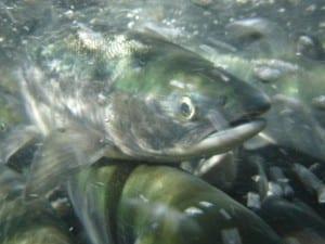 Sockeye swimming upstream in Yakutat. (USFS photo/Nate Catterson)