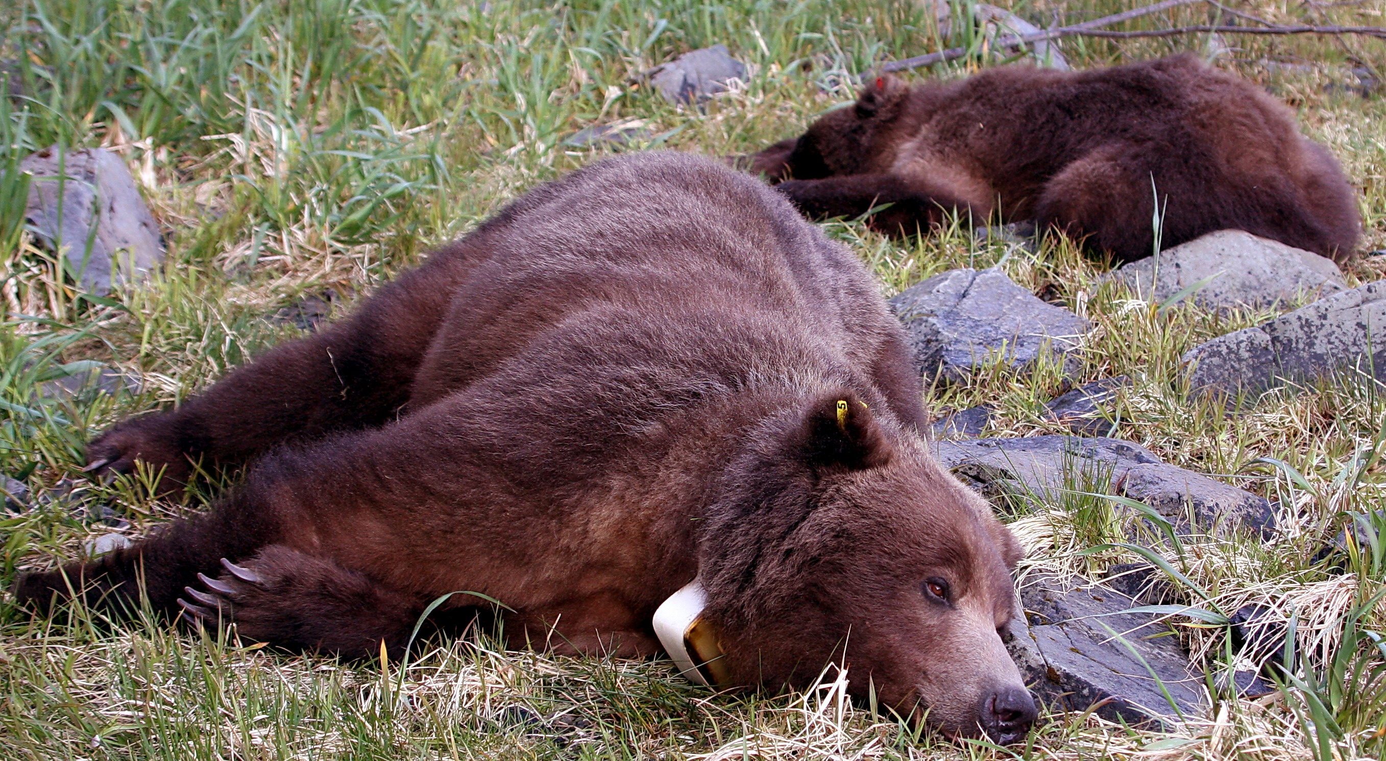 A tranquilized bear and cub. (Alaska Department of Fish & Game photo.