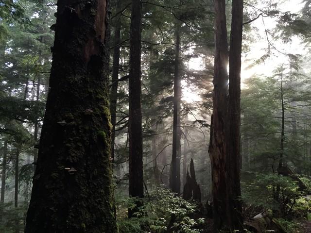 Full audio: Listening to Yellow Cedar