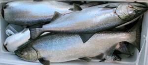 Salmon_tote-300x132