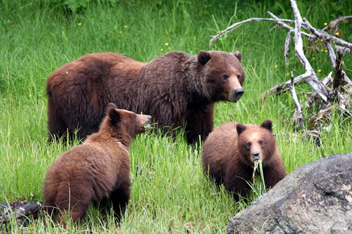 Bears more active than normal, official says