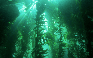 kelp-forest-11-14-14-thumb-600x375-83938