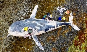Researchers collect samples from a beached humpback whale carcass Saturday on a Sitka Sound beach.