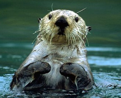 Otter study to examine habitat differences in Southeast