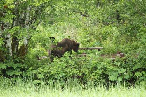"""Tommy Joseph saw this brown bear on the boardwalk at Starrigavan Estuary, north of Sitka in 2012. """"After grazing in the estuary for a good while he climbed on to the boardwalk and rubbed against a signpost, then took about a half an hour nap,"""" Joseph said. (Photo: Tommy Joseph)"""