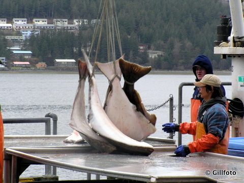 Crewmen load halibut near Juneau. (Flickr photo/gillphoto)