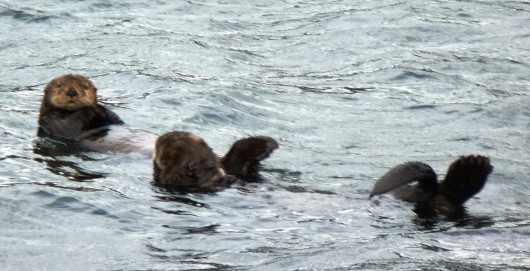 Study: Otters eating urchins reduces greenhouse gas