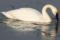 Feeding swans? Keep wild diet in mind (video)