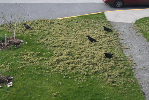 Look what the ravens did! Birds managed to, shall we say, aerate the lawn in front of our studios at the Cable House. They didn't get the memo that we were trying to keep things looking nice today. (KCAW photo by Ed Ronco)