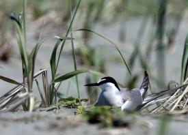 Yakutat to celebrate return of the terns