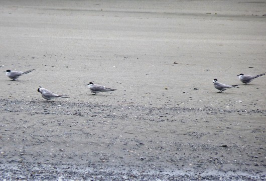 Five Aleutian terns sit on a protected beach on Yakutat's Black Sand Spit, a nesting area. Photo by Ed Schoenfeld, CoastAlaska News.