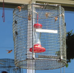Hummingbirds fill a trap at a residence near Sitka's Medvejie Hatchery. (Kitty LaBounty photo)