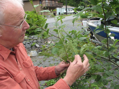 Cooperative Extension agent Bob Gorman assesses the damage to a small alder. (KCAW photo/Robert Woolsey)