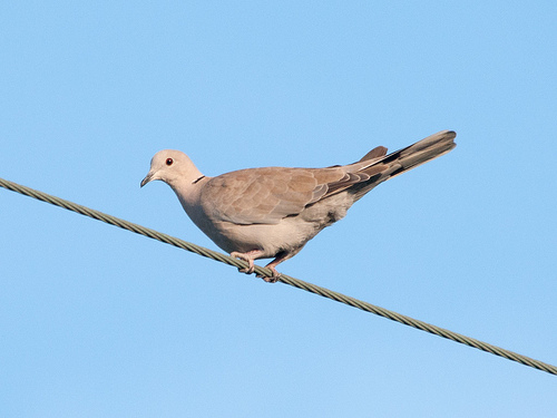 The Eurasian collared-dove favors the utility lines near Halibut Point in Sitka. (Flickr photo/Sergey Yeliseev)