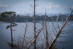 Examining the effects of yellow cedar decline