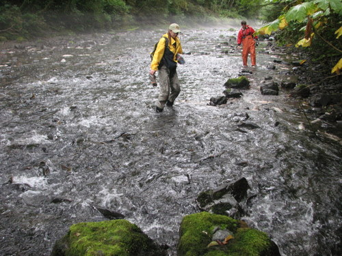 The Indian River near Sitka boils with pink salmon as a pair of National Park Service biologists walk upstream. There may be over 300,000 fish in the system, 3-4 times the optimum amount. (KCAW photo/Robert Woolsey)