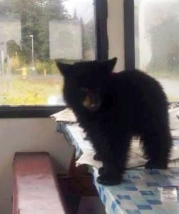Smokey, an orphaned  black bear cub, has gone viral on Facebook. Sitka's Fortress of the Bear has offered to house the animal. .