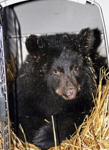 A young black bear cub orphaned near Seward is seen here after arrival Friday at its new home in Sitka at Fortress of the Bear. Photo courtesy Phil Mooney, ADF&G.
