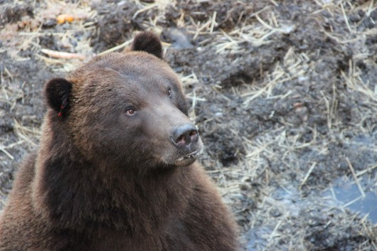 Nose to snout at Sitka's Fortress of the Bear