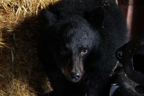 Sibling bear cubs reunite in Sitka