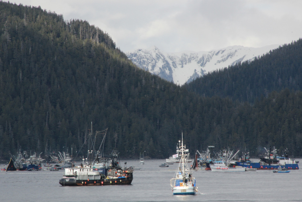 Seiners land 4K tons in herring season opener
