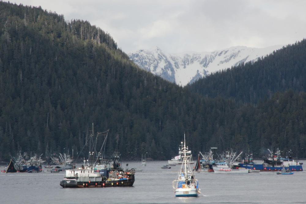 Seiners land 4K tons in herring season opener
