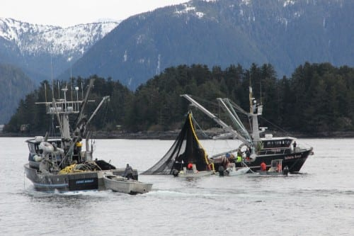 The seiner Infinite Grace pursing up during the third opening in the Sitka Sound sac roe herring fishery, on Wednesday, March 26, 2014 (KCAW photo/Rachel Waldholz)